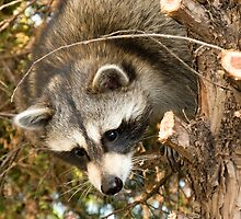 Raccoon In Pine Tree by Wild For Ever