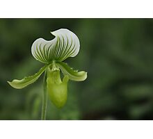 Green and white orchid Photographic Print