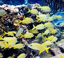 Yellow Caribbean Reef Fish on a Bahamas Reef by Roupen  Baker