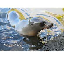 Galapagos Sea Lion Photographic Print
