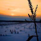 Cornfield Silhouette by Trenton Purdy