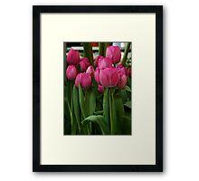 Vibrant pink Tulips Framed Print