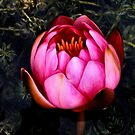 Pink waterlily by missmoneypenny