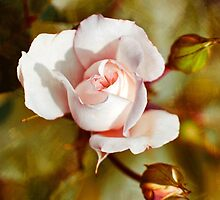 Antique Rose by Christina Rollo