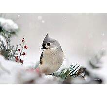 Snow White Tufted Titmouse Photographic Print