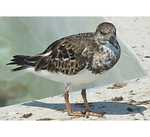 Ruddy Turnstone, resident @Turtle Farm, Grand Cayman  Photographic Print