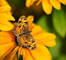 Pearl Crescent Butterfly by Christina Rollo