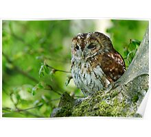 Tawny Owl in woodland Poster
