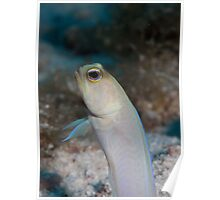 Yellow headed jawfish, Grand cayman Poster
