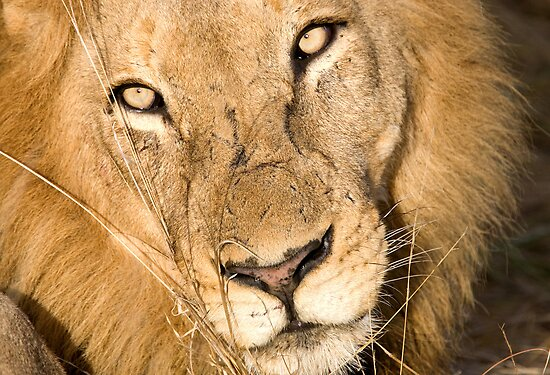Male Lion - Here's Lookin' At Ya by Michael  Moss