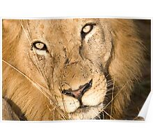 Male Lion - Here's Lookin' At Ya Poster