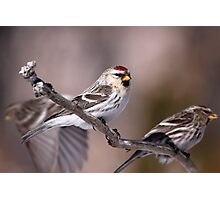 Redpoll Convention Photographic Print