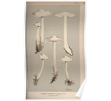 Illustrations of British Fungi by Mordecai Cubitt Cook 1891 V1 0429 AGARiCUS  TRICHOLOMA  INAMAENUS Poster