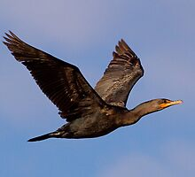 030710 Double Crested Cormorant by Marvin Collins