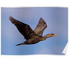 030710 Double Crested Cormorant Poster