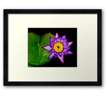 Purple Water Lily Framed Print