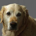Gemma, our Golden Retriever by Andrew Jones