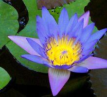 Water Lily 2 by Jason Kiely