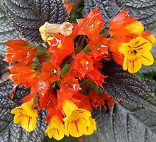 Orange and yellow begonia flowers. by Marilyn Baldey