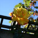 Summer Rose- Yellow by Margybear