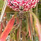 Australian Emperor Dragonfly by Trish Meyer