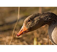 graylag goose Photographic Print