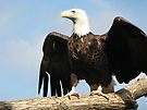 The Regal Eagle by NatureGreeting Cards ©ccwri