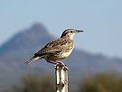 Meadowlark ~ Western by Kimberly Chadwick