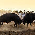 Bullfight by Norbert Probst