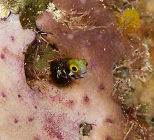 Secretary blenny, Grand Cayman, 2010 by jackmbernstein