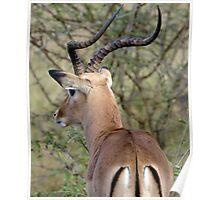 Watchful Impala Buck Poster