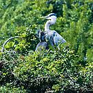Mother and Baby - Great Blue Heron by Memaa