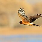 Northern Harrier Hawk by DavidQuanrud