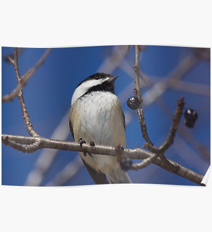 Chickadee in a blue sky Poster
