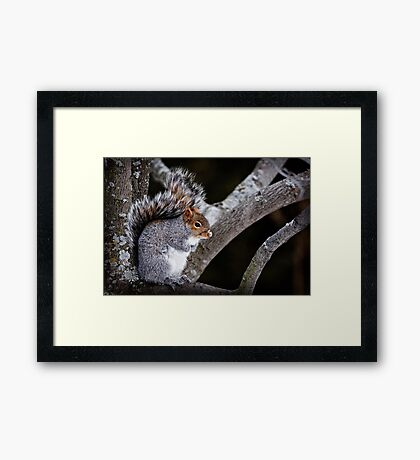 Grey Squirrel in Tree - Ottawa, Ontario Framed Print