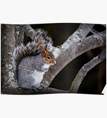 Grey Squirrel in Tree - Ottawa, Ontario Poster