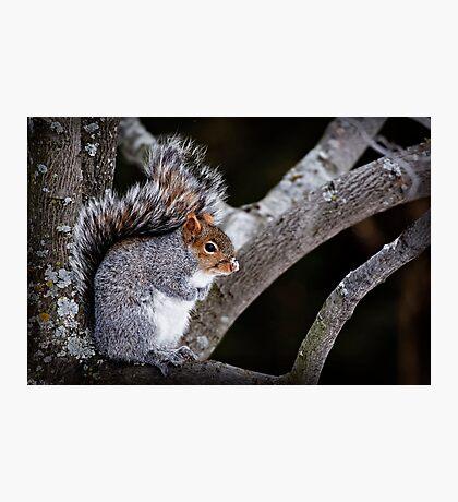 Grey Squirrel in Tree - Ottawa, Ontario Photographic Print
