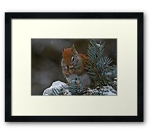 Red Squirrel in Spruce tree - Ottawa, Ontario Framed Print