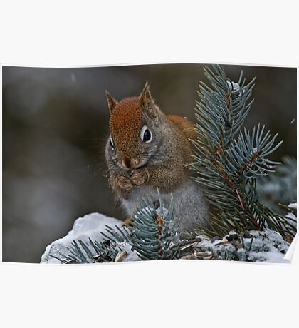 Red Squirrel in Spruce tree - Ottawa, Ontario Poster