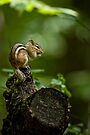 Chipmunk in the forest - Jackpine Trail, Ottawa by Michael Cummings