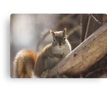 Looking in a squirrel mirror Canvas Print