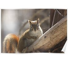 Looking in a squirrel mirror Poster