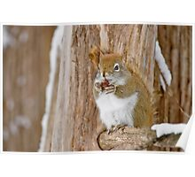 Red Squirrel - Dinner Time Poster