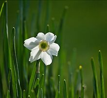 White Daffodils by PhotoGraphicsSL