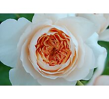 Peach Centered Rose Photographic Print