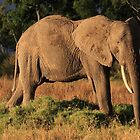 Tembo in the sunshine by John Banks
