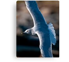 Ring Billed Gull in Flight - Ottawa, Ontario Canvas Print