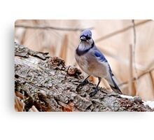 Blue Jay on Log - Ottawa, Ontario Canvas Print