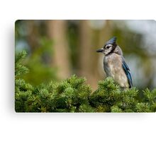 Blue Jay in Spruce Tree - Ottawa, Ontario Canvas Print