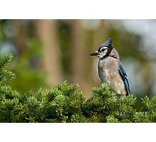 Blue Jay in Spruce Tree - Ottawa, Ontario Photographic Print